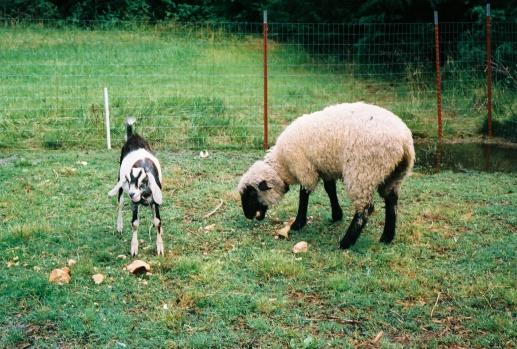1st goat & lamb